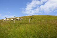 Hillside with sheep Royalty Free Stock Image