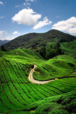 Hillside Tea Plantation Stock Images