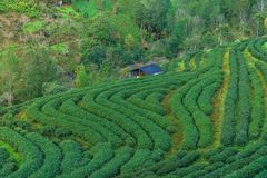 Hillside Tea in Thailand Followed by the mountains Royalty Free Stock Photography