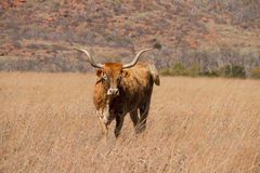 Hillside Texas Longhorn images libres de droits