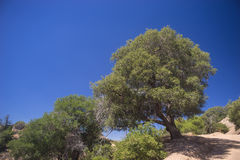 Hillside Tree in California Wilderness Royalty Free Stock Photography