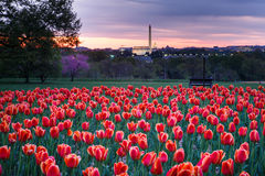 Hillside of Tulips Overlooking Washington DC Monuments. A hillside of orange tulips at sunrise in Arlington Ridge Park, Virginia overlooking historic Washington stock images