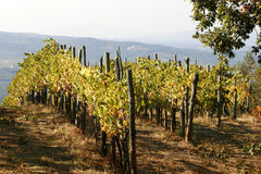 Hillside Vines Stock Photography