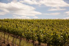 Vines and Sky. Rows of spring grapes vines lead over a hill into the blue sky, this vineyard in Wine country of the Pacific Northwest Royalty Free Stock Photography