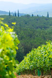 Hillside vineyard. A view of a row of grapevines growing on the hillside of a sun-drenched vineyard Stock Photos