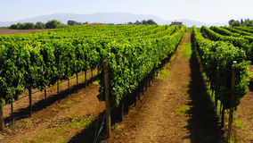 Hillside vineyard in Italy Royalty Free Stock Images