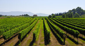 Hillside vineyard in Italy Royalty Free Stock Image