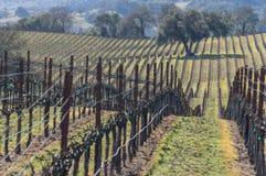 Hillside vineyard. Scattered Oak trees in a hillside vineyard royalty free stock photography