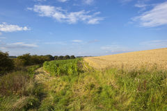 Maize crop and wheat Stock Image