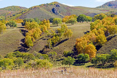 hillside and White Birch in the autumn Stock Photography