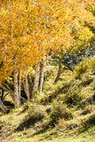 hillside and White Birch in the autumn Stock Photo