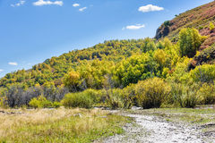 hillside and White Birch in the autumn Royalty Free Stock Photos