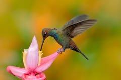 Hillstar Branco-atado, bougueri de Urochroa, colibri em voo na flor do sibilo, gren e amarela o fundo, Montezuma, Colombi Fotos de Stock