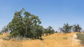 Hilltop of California Oaks Stock Image