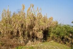 Hilltop reed against sunny sky Royalty Free Stock Photos