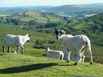 Hilltop sheep. Sheep on a hilltop in England stock images