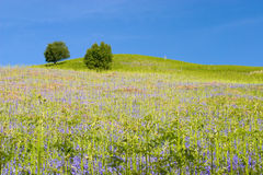 Hilltop trees. Landscape view of a summer field with trees against a blue sky royalty free stock photography