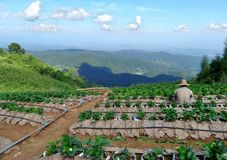 Hilltribe Strawberry field   on the mountain Stock Photography