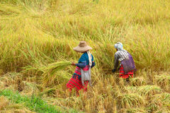 Hilltribe women farmer in paddy rice field Stock Images