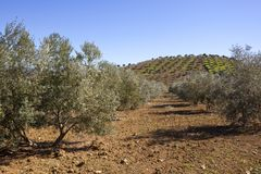 Hills and olive groves of Andalucia in southern Spain Royalty Free Stock Image