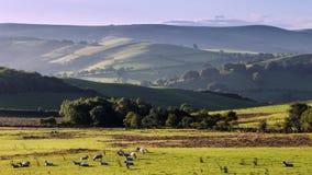 Hilly Countryside en la salida del sol con el pasto de la multitud de ovejas metrajes