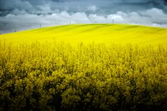 Hilly field of Rapeseed. Landscape photo of a rapeseed (Brassica Nappus) field hill with electrical poles on top with clouds and blue sky Royalty Free Stock Photography