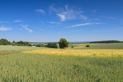 Hilly landscape with wheat fields under a blue sky Stock Photography