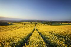 Hilly Rapeseed Field au lever de soleil image stock