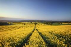 Hilly Rapeseed Field bei Sonnenaufgang stockbild