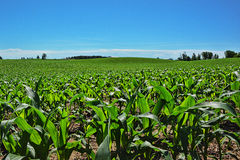 Hilly Rows of Corn 2 Royalty Free Stock Photos