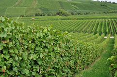 Hilly vineyard #1, baden. Foreshortening of hilly vineyard with multiple lines of plants in a green rustic landscape Stock Image