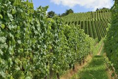 Hilly vineyard #16, Stuttgart Stock Image