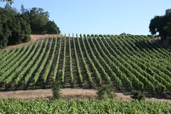 Hilly Vineyard. In Sonoma on a sunny afternoon Royalty Free Stock Photo