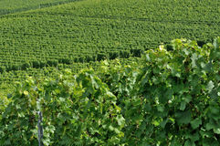 Hilly vineyard #4, baden. Foreshortening of hilly vineyard with multiple lines of plants in a green rustic landscape Royalty Free Stock Photography