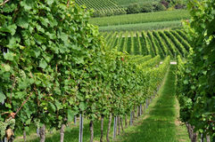 Hilly vineyard #5, baden. Foreshortening of hilly vineyard with multiple lines of plants in a green rustic landscape Royalty Free Stock Images