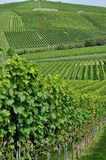 Hilly vineyard #6, baden. Foreshortening of hilly vineyard with multiple lines of plants in a green rustic landscape Stock Images