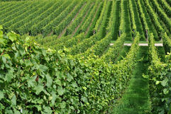 Hilly vineyard #7, baden. Foreshortening of hilly vineyard with multiple lines of plants in a green rustic landscape Royalty Free Stock Images