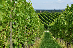 Hilly vineyard #8, baden. Foreshortening of hilly vineyard with multiple lines of plants in a green rustic landscape Stock Image