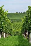 Hilly vineyard #9, baden Royalty Free Stock Image