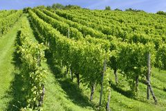 Hilly vineyard, Stuttgart Stock Images