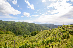 Hilly vineyards in early summer in Italy stock photo