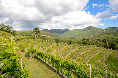 Hilly vineyards in early summer in Italy stock photos