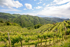 Hilly vineyards in early summer in Italy royalty free stock photo