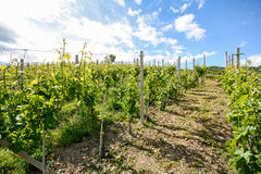 Hilly vineyards in early summer in Italy royalty free stock image