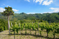 Hilly vineyards in early summer in Italy stock image