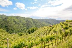Hilly vineyards with red wine grapes in early summer in Italy stock image