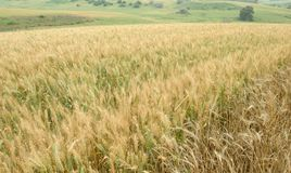 Hilly Wheat Field. A Wheat field on a side of a hill with distant hills in the background Royalty Free Stock Images