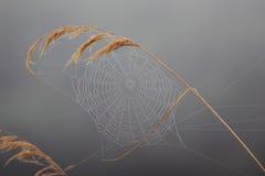 Hilo de araña otoñal en la caña fotos de archivo libres de regalías