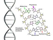 Hilo de la DNA Fotografía de archivo libre de regalías