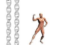 Hilo de la DNA, hombre muscular. Foto de archivo libre de regalías